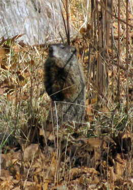 woodchuck sitting up