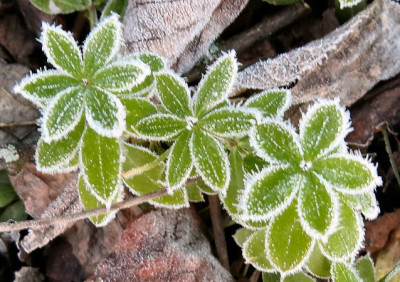 frosted gallium leaves