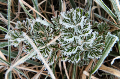 leaf edged in frost