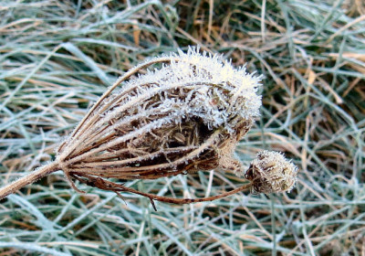 seed head with ice spikes