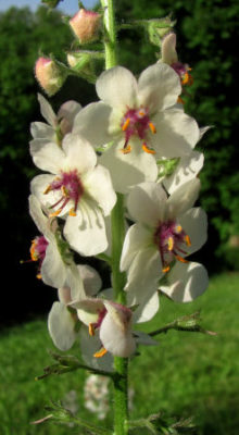 weeds can include moth mullein