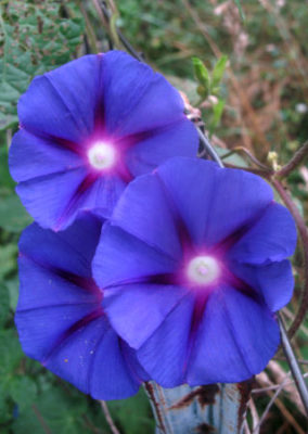 morning glories can be weeds