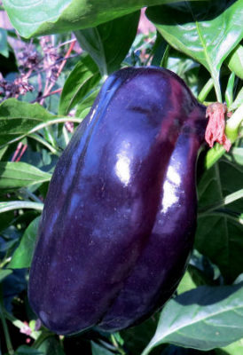 black bell peppers