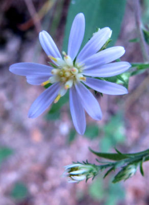 Drummond's Aster is one of many asters
