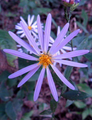 Unknown aster is one of many asters