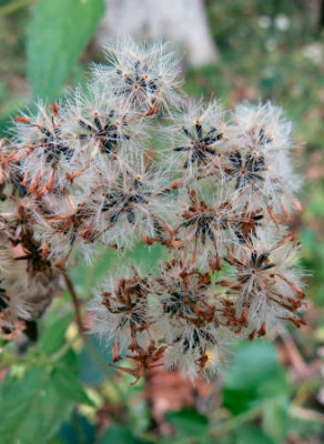 white snakeroot seed time