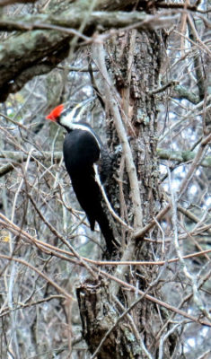 birding success pileated woodpecker