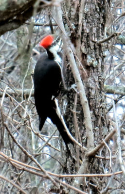 Pileated woodpecker searching under dead bark