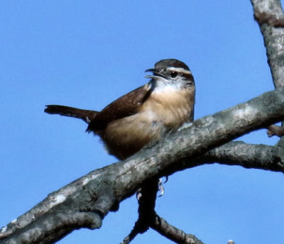 Carolina wrens like squawking from trees