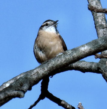 Carolina wren in tree