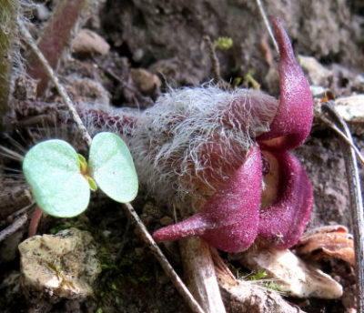 plant pages wild ginger flower