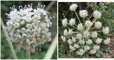 water hemlock flowers