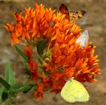 butterfly weed flower umbel
