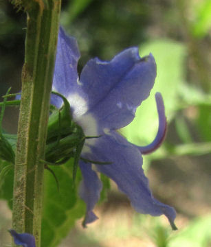 tall bellflower side flower
