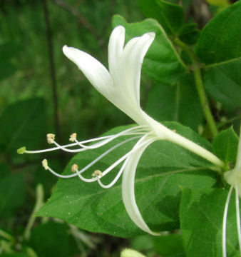 Japanese honeysuckle side flower