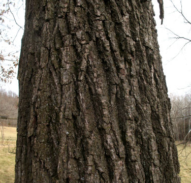 black walnut bark to ID a leafless tree for place choosing