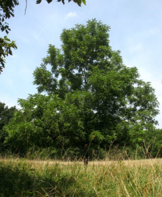Black walnut tree indicates good soil on the place