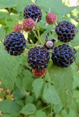 homestead fruit black raspberries