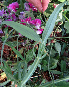 Perennial pea under leaf