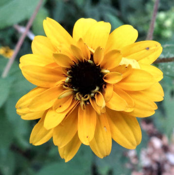double brown eyed susan