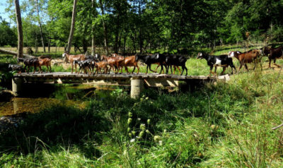 herd decision to cross the creek