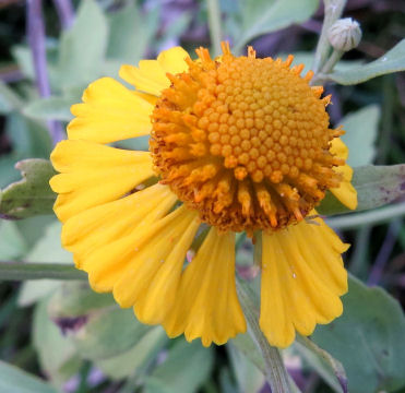 autumn sneezeweed flower