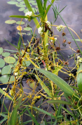 dodder plant on sedges