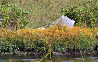 dodder plants blanketing host plants