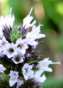 spearmint flower