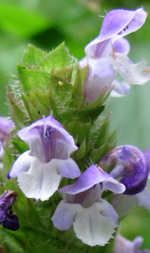Self Heal flower