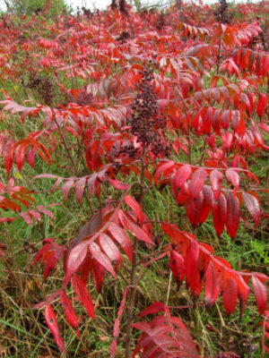 winged sumac in fall