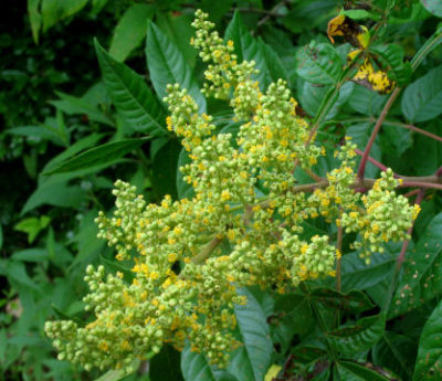 winged sumac umbel