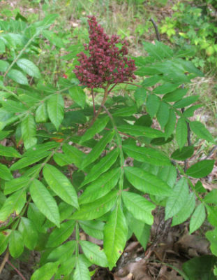 winged sumac in summer