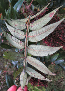 winged sumac under leaf