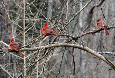 starving cardinals wait