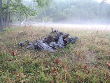 stumps in mist on my Ozarks home