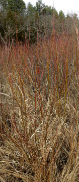botany season willow shrubs