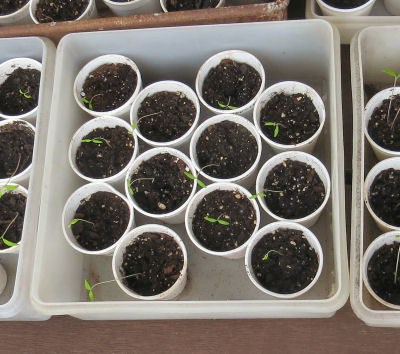 frustrating weather hurts seedlings