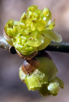 spicebush blooms despite frustrating weather