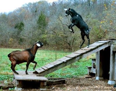 action goat pictures