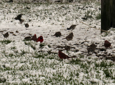 cardinals in April snows