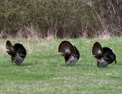 turkey season toms