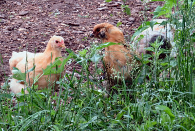 young pullets