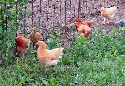 young pullets at garden fence