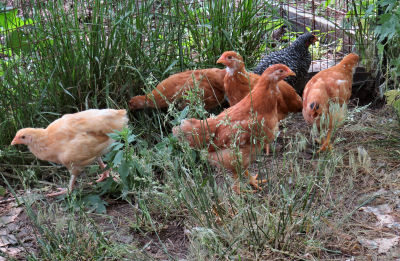 young pullets watching