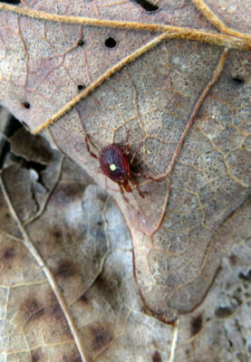 lone star tick on leaf