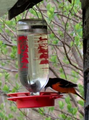 Baltimore Orioles like hummingbird feeders