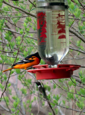Baltimore Orioles and hummingbirds