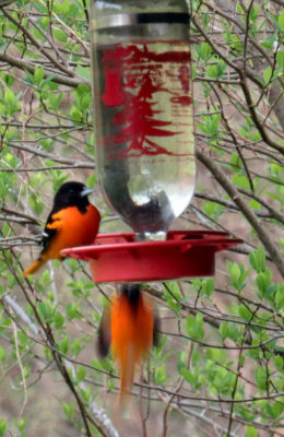Baltimore Orioles take over the feeders