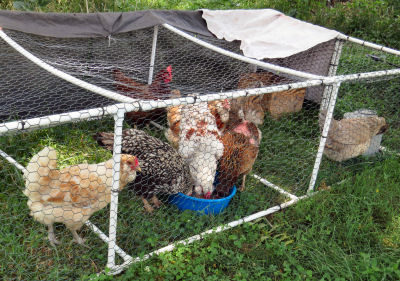 chickens eating in chicken tractor